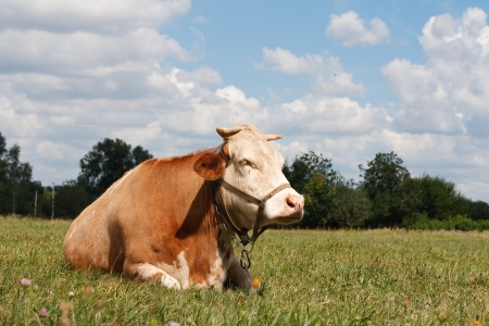 Cow resting in a pasture photo