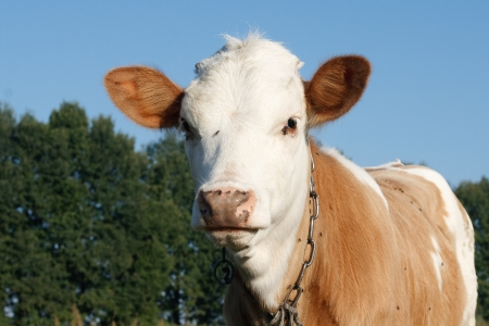 Young cow looks photo