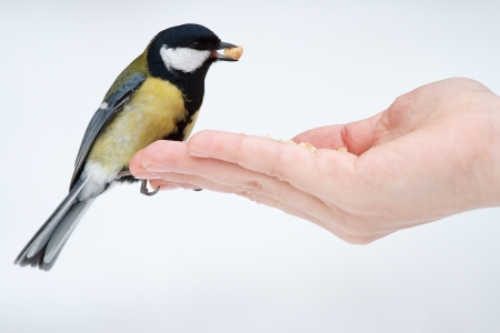 Tit on the hand photo