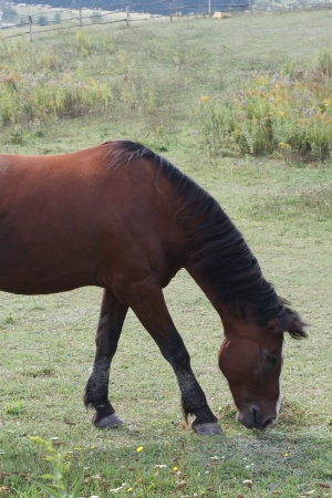 filly: Filly horse grazing