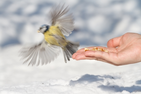 open hand and titmouse photo