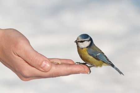Tit eating with your hands photo