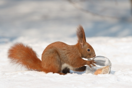 Squirrel gets a nut from a glass jar photo