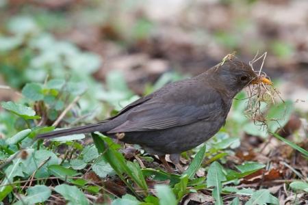 gathers: Blackbird raccoglie erba per il nido