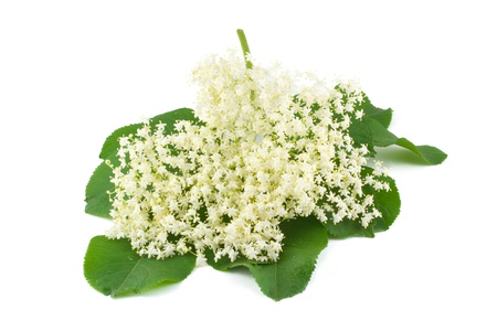 Flowers elderberry