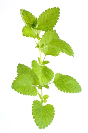 green mint isolated on white photo