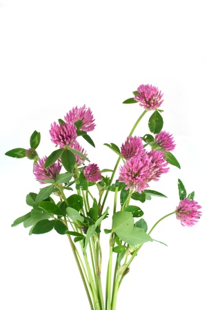 Clover flowers Stock Photo - 16710829