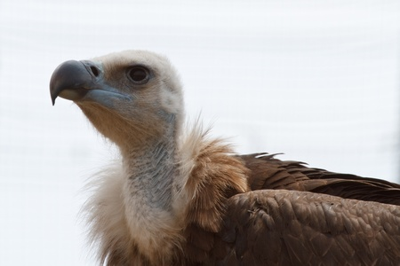 griffon-vulture photo