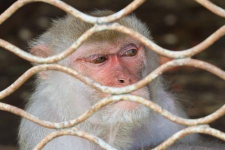hominid: guardare una scimmia in una gabbia