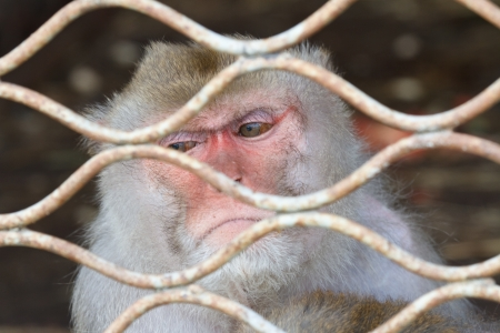 cage gorilla: look a monkey in a cage Stock Photo