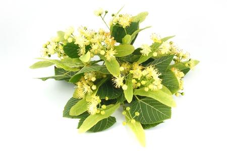 linden: 흰색 배경에 고립 된 린든 꽃