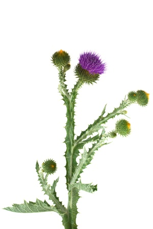 Thistle isolated on white background photo