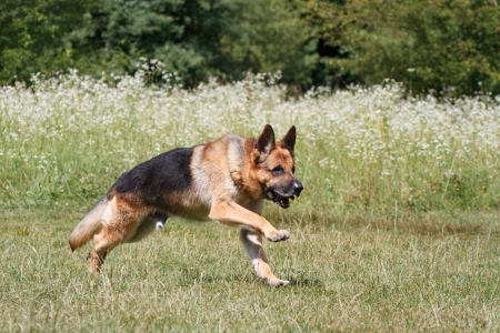 German Shepherd runs through the meadow photo