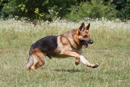 german shepherd on the grass: Training a German Shepherd Stock Photo