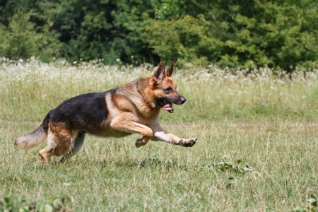 perro policia: German Shepherd Dog Running