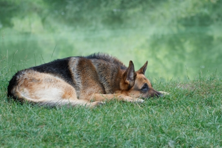 German shepherd lying on the shore of Lake photo