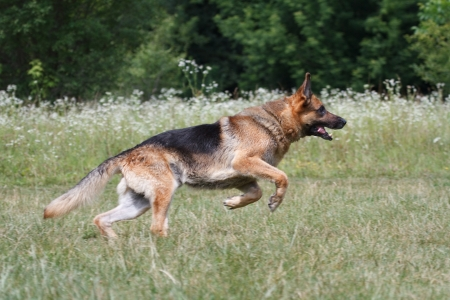 front or back yard: Running German Shepherd