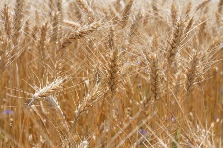 durum: cultivar de bl� dur