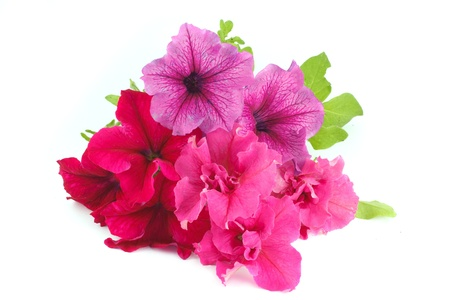 Bouquet of multicolored petunias isolated on white