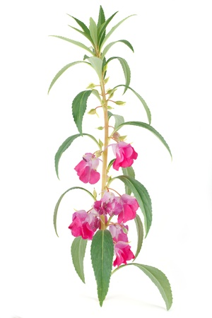 impatiens: Blooming of Impatiens balsamina isolated on white