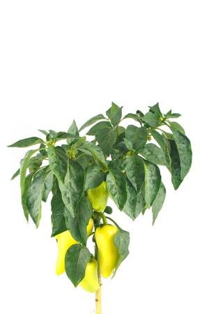 bush pepper: Fresh yellow pepper  Bush