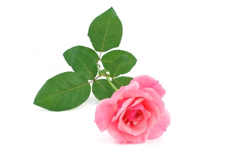 long stem roses: Pink rose flower cutted
