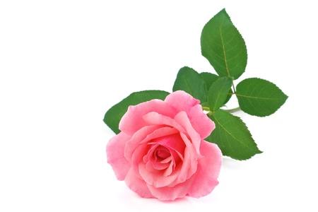 long shots: rose flower isolated on white background