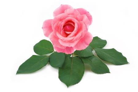 long shots: rosa fiore rosa isolato Archivio Fotografico