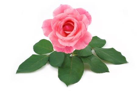 lying on leaves: rose pink flower isolated