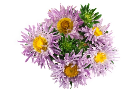 Lilac aster flower isolated photo