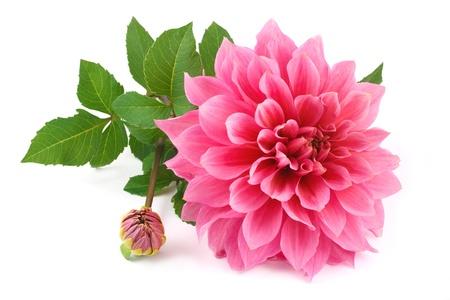 달리아: 흰색 배경에 고립 된 핑크 달리아
