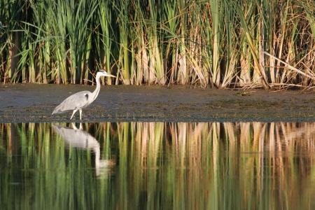 gray heron Stock Photo - 16815587