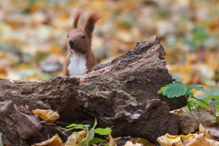 take a breather: wild squirrel hiding behind a tree stump in autumn Stock Photo