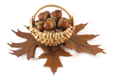 Acorns in the basket photo