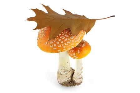 fungous: Fly agarics isolated on white