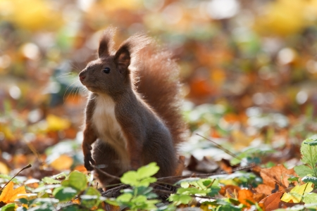 A curious squirrel  autumn photo