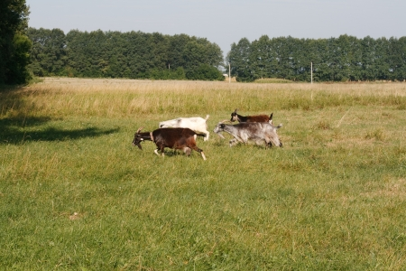 Goats are running on pasture photo