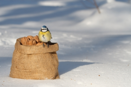 bag of walnuts and tit  winter photo
