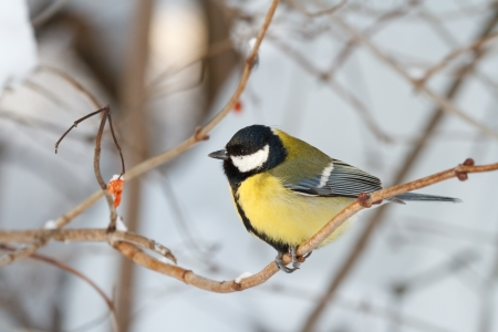 Small tit on a branch in winter photo