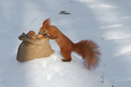 heap snow: Squirrel selects walnuts