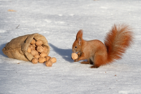 Red squirrel and walnuts Stock Photo - 17158444