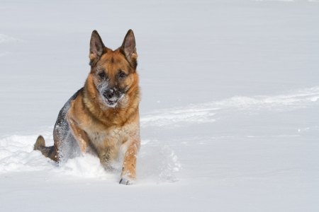 Happy purebred German shepherd running in the snow in winter photo