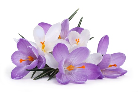 The composition of the first spring flowers  Blue and white crocuses isolated on a white background Stock Photo