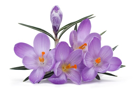 Bouquet of blue flowering crocuses with bud isolated on white background photo