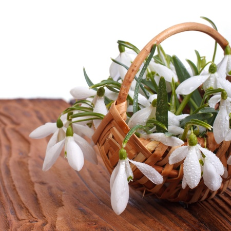 Snowdrop flowers in a basket close-up on wooden table background photo