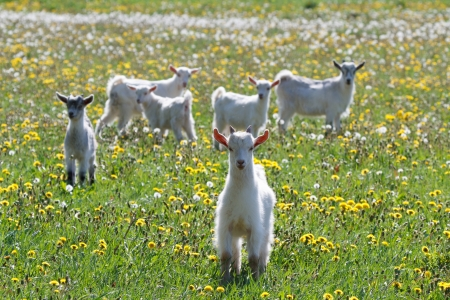 White goats frolic in a field of dandelions photo