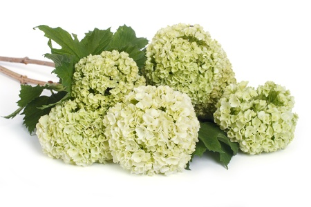 guelder: A Guelder rose  Viburnum opulus  flowers isolated on white