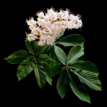 aesculus hippocastanum: Chestnut flowers with green leaves on a dark background Stock Photo
