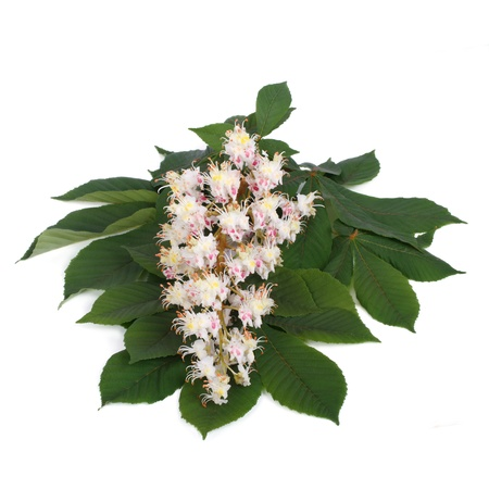 aesculus hippocastanum: Flowers and young leaves of chestnut isolated on white
