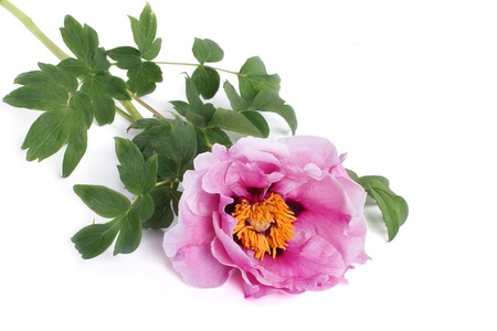 tree peony: Tree peony pink flower isolated on white background Stock Photo
